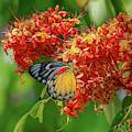 Red-spot Jezebel Butterfly Dthn0235 by Gerry Gantt