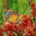 Red-spot Jezebel Butterfly Dthn0236 by Gerry Gantt