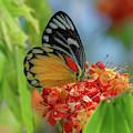 Red-spot Jezebel Butterfly Dthn0237 by Gerry Gantt