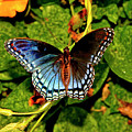 Red-spotted Purple Butterfly 017 by George Bostian
