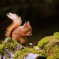 Red Squirrel Eating Nuts by Blackcatphotos