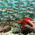 Red Starfish And Yellowtail Surgeonfish by Michele Westmorland
