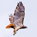 Red Tail Hawk In Flight by Terry DeLuco