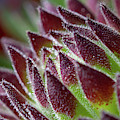 Red Tipped Sempervivum Macro by Scott Lyons