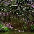 Redbud And Pond by Thomas R Fletcher