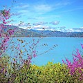 Redbud Beauty Along The Shore Of Shasta Lake by Lynn Bauer
