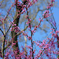 Redbuds And Blue Skies by Karen Adams