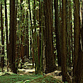 Redwood Trees Armstrong Redwoods St by Panoramic Images