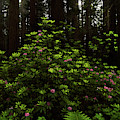 Redwoods And Rhododendrons by TL Mair