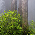 Redwoods By Crescent City 7 by Mike Penney