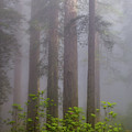 Redwoods By Crescent City 8 by Mike Penney