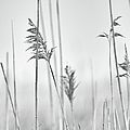 Reeds In The Mist  by Marianne Campolongo