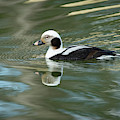 Reflecting On A Long-tailed Duck #1 by Todd Henson