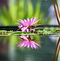 Reflecting Water Lily  by Tim Gainey