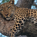 Relaxed Leopard by Mark Hunter