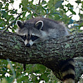 Relaxing Raccoon by Bruce Gourley