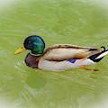 Resting Duck by Allen Nice-Webb
