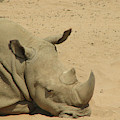 Resting Rhinoceros With His Head Down In A Sandy Area by DejaVu Designs