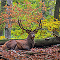 Resting Stag by Arterra Picture Library