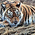 Resting Tiger By Alan M Hunt by Alan M Hunt