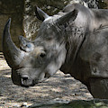 Rhino Standing In The Shade On A Summer Day by DejaVu Designs
