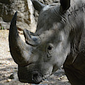Rhinoceros With Two Horns Up Close And Personal by DejaVu Designs