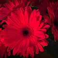 Rich, Red And Romantic Gerbera by Luther Fine Art