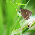 Ringlet Butterfly On Plant by Scott Lyons