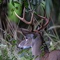 Riverbend Buck by Tom Claud
