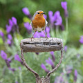 Robin On An Old Garden Spade Handle by Tim Gainey