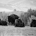 Rocky Mountain Bison by Vallee Johnson