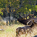 Rocky Mountain Bull Elk Bugeling by Nathan Bush