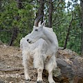 Rocky Mountain Goat by Susan Rydberg
