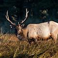 Roosevelt Elk Bull by Robert Potts
