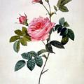 Rosa Inermis by Pierre-Joseph Redoute