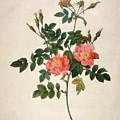 Rosa Rubiginosa by Pierre-Joseph Redoute