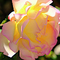 Rose Illuminated by August Timmermans