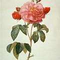 Rose La Duchesse Dorleans by Pierre-Joseph Redoute