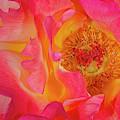 Rose Ribbon Swirls by Susan Candelario