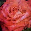 Rose Rouge 4684 Idp_2 by Steven Ward