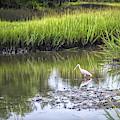 Roseate Spoonbill - Feeding by Scott Hansen
