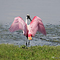 Roseate Spoonbill by Michele A Loftus