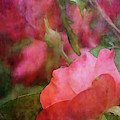 Roses 9032 Idp_2 by Steven Ward