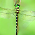 Royal River Cruiser Dragonfly Macromia Taeniolata Wild by Dave Welling