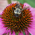 Rudbeckia Coneflower With Bee, Canada by Venetia Featherstone-Witty
