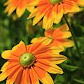 Rudbeckia Flowers by Jill Lang
