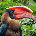 Rufous Hornbill by Arterra Picture Library