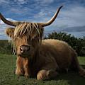 Rugged Highland Cow