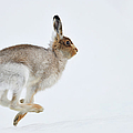 Running Mountain Hare Lepus Timidus by Yves Adams