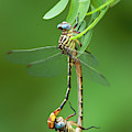 Russet-tipped Clubtails Stylurus Plagiatus Wild Texas by Dave Welling